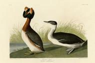 John Audubon Print - Horned Grebe