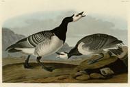 John Audubon Print - Barnacle Goose