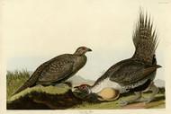 John Audubon Print - Cock Of The Plains