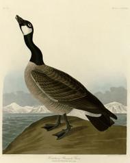 John Audubon Print - Hutchins Barnacle Goose