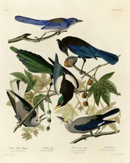 John Audubon Print - I. Yellow Billed Magpie 2. Stellers Jay 3. Ultramarine Jay 4. Clarks Crow