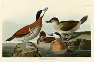 John Audubon Print - Ruddy Duck