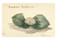 Maria Geertuyd Snabilie - Massonia Africana