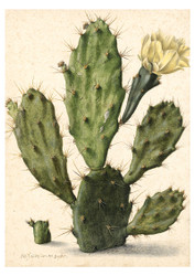 Herman Saftleven - Flowering Prickly Pear Cactus