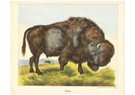 Jos Scholz - Bison