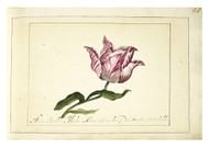 Anna Cornelia Moda - Tulip