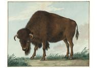 Isaac van Haastert - Bison Drawing