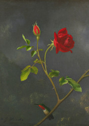 Red Rose With Ruby Throat