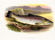 Great Lake Trout