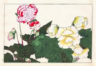 Begonia I