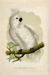 WT Greene Parrots in Captivity Great Whitecrested Cockatoo Wildlife Print