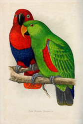 WT Greene Parrots in Captivity New Guinea Eclectus Wildlife Print