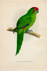WT Greene Parrots in Captivity New Zealand Parrakeet Wildlife Print