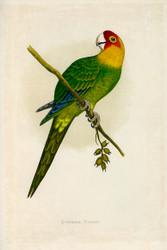 WT Greene Parrots in Captivity Carolina Parrot Wildlife Print