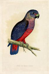 WT Greene Parrots in Captivity Dusky or Violet Parrot Wildlife Print