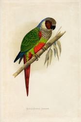 WT Greene Parrots in Captivity Whiteeared Conure Wildlife Print