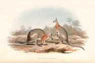 Almaturus Dorsalis Gray by John Gould Wildlife Print