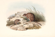 Bettongia Fasciata By John Gould Wildlife Print
