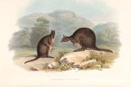 Halmaturus Billardierii By John Gould Wildlife Print