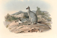 Halmaturus Parryi By John Gould Wildlife Print