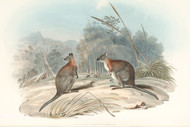Halmaturus Thetidis By John Gould Wildlife Print