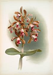 Cattleya Guttata Leopoldi By Joseph Sander Floral Print