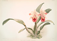Cattleya Labiata Trianaei By Joseph Sander Floral Print