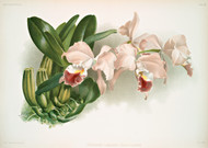 Cattleya Labiata Gaskelliana By Joseph Sander Floral Print