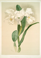 Cattleya Mendelii Quorndon House Var By Joseph Sander Floral Print