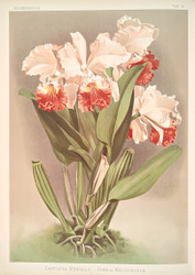 Cattleya Mendelli Duke Of Marlborough By Joseph Sander Floral Print