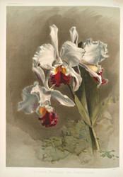 Cattleya Mendellii Var Measuresiana By Joseph Sander Floral Print