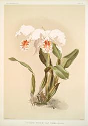 Cattleya Mossi Var Reineckiana By Joseph Sander Floral Print