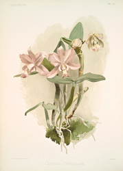 Cattleya O Brieniana By Joseph Sander Floral Print