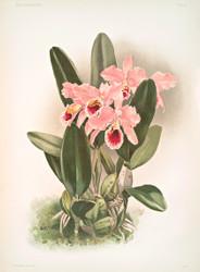 Cattleya Percivaliana By Joseph Sander Floral Print