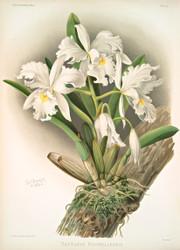 Cattleya Rochellensis By Joseph Sander Floral Print