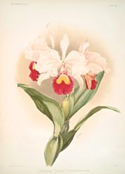 Cattleya Trianaei Schroederiana By Joseph Sander Floral Print