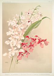 Hybrid Calanthes Victoria Regina Bella Burfordiense By Joseph Sander Floral Print