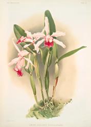 Lilia Elegans Schilleriana By Joseph Sander Floral Print