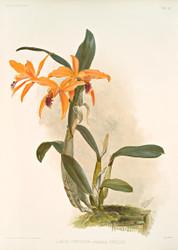 Lilia Cattleya Hybrida Phoebe By Joseph Sander Floral Print