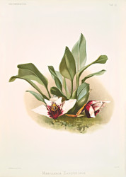 Maxillaria Sanderiana By Joseph Sander Floral Print