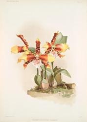 Odontoglossum Grande By Joseph Sander Floral Print