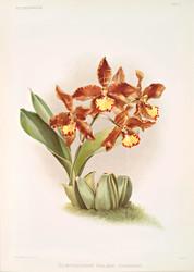 Odontoglossum Insleayi Splendens. By Joseph Sander Floral Print