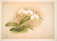 Phalaenopsis Grandiflora Aurea By Joseph Sander Floral Print
