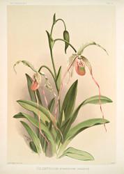 Selenipedium Hybridum Grande By Joseph Sander Floral Print