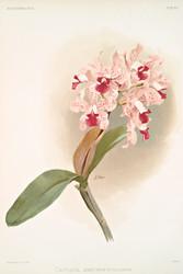 Cattleya Amethystoglossa by Joseph Sander Floral Print