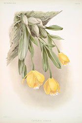 Cattleya Citrina by Joseph Sander Floral Print