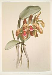 Cattleya Granulosa Var Schofieldiana by Joseph Sander Floral Print