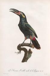 L Aracari Koulik Male De La Guyane by Jacques Barraband
