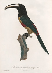 L Aracari A Ceinture Rouge by Jacques Barraband