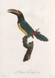 L Aracari Verd Male By Jacques Barraband